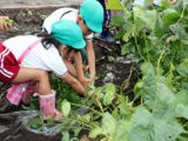 秋には収穫と食育で貴重な体験をしています。